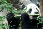 10 Interesting Giant Panda Facts