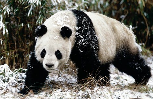 Giant Panda in Winter.