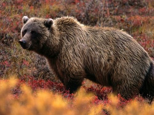 Grizzly Bear Fact