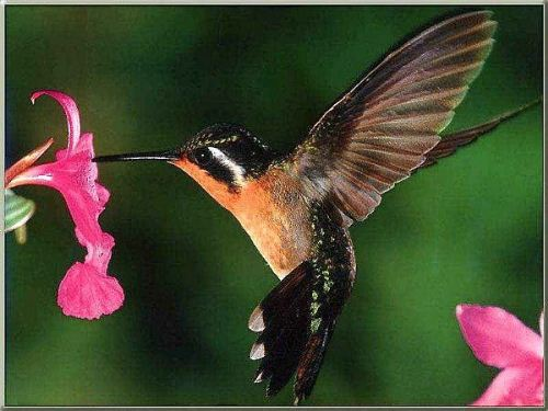 Hummingbird Flies
