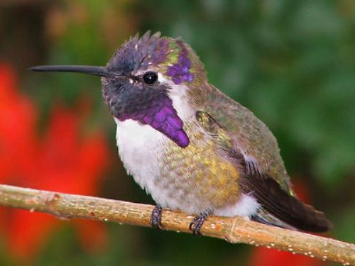 Hummingbird Pearch