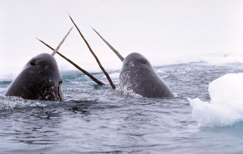 Narwhals breach