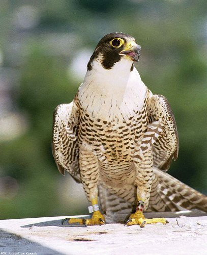 10 interesting peregrine falcon facts my interesting facts. Black Bedroom Furniture Sets. Home Design Ideas