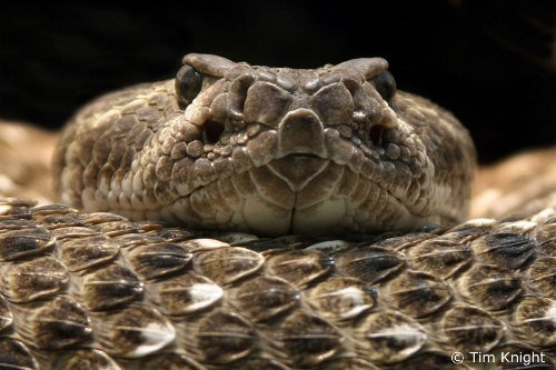 Rattlesnake Facts