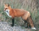 10 Interesting Red Fox Facts