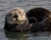10 Interesting Sea Otter Facts