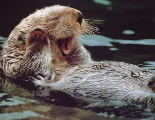 Sea Otter Yawning
