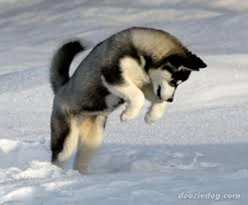 Siberian husky facts