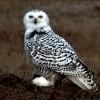 10 Interesting Snowy Owl Facts