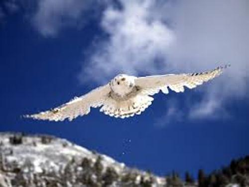 Snowy Owl Flies