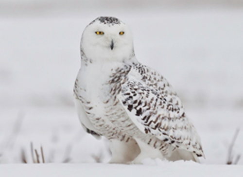 Snowy Owl in White color