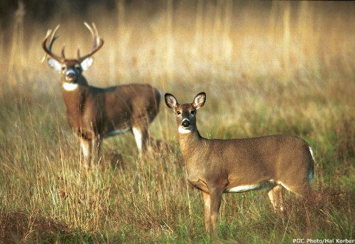Two White Tailed Deer