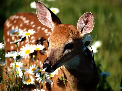 White Tailed Deer Fact