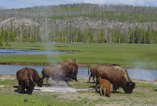 Yellowstone National Park with Bison
