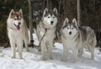 10 Interesting Siberian husky Facts