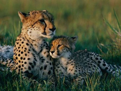 cheetah mother