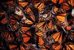 10 Interesting Monarch Butterfly Facts