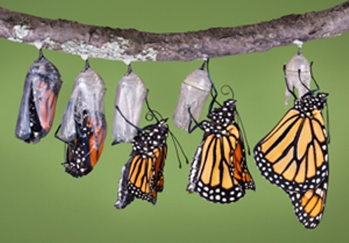 monarch butterfly  phase