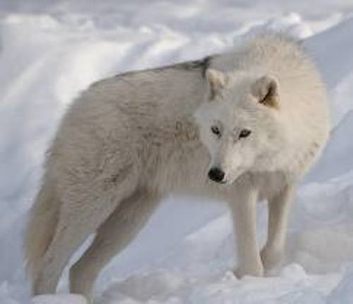 Artic Wolf in Snow
