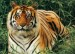 10 Interesting Bengal Tiger Facts