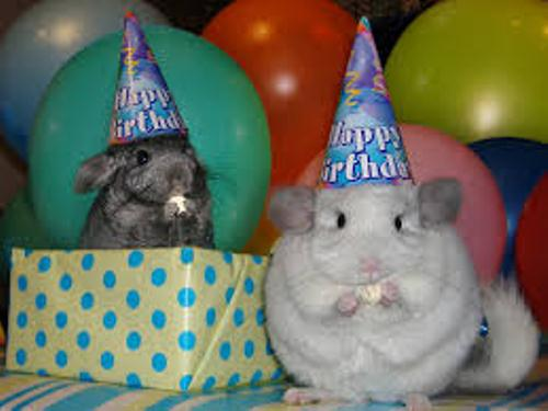 Chinchilla funny