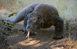 10 Interesting Komodo dragon Facts