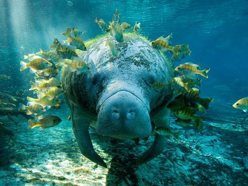 Manatee and Fish