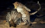 10 Interesting Porcupine Facts