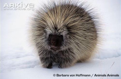 Porcupine in Snow