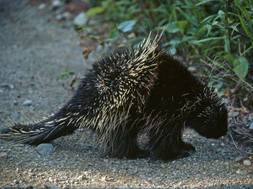 Porcupine on Land