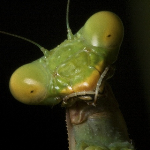 Praying Mantis' Head