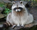 10 Interesting Raccoon Facts