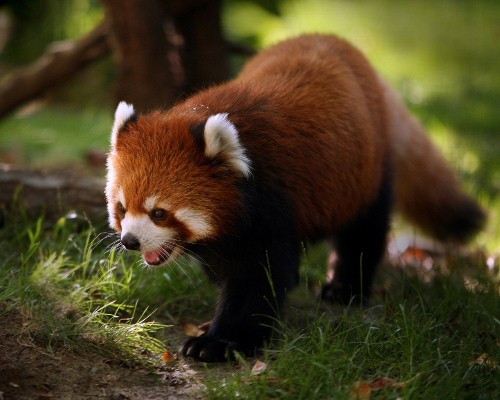 Red Panda on Land