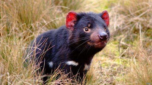 Tasmanian devil on Land