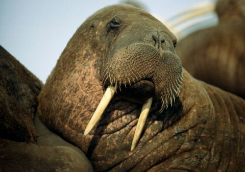 Walrus Facts