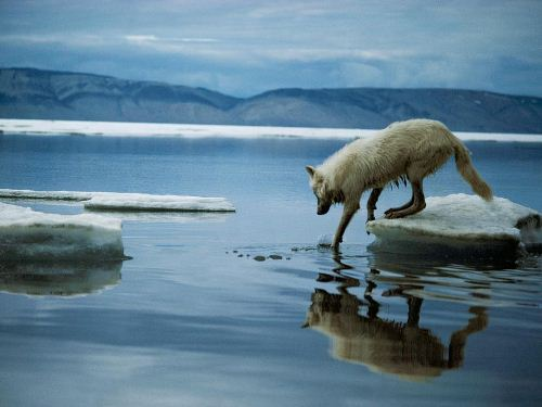 arctic wolf on Ice