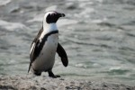 10 Interesting African Penguins Facts