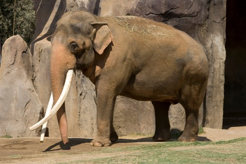 Asian Elephant Big