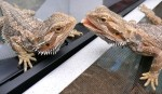 10 Interesting Bearded Dragons Facts