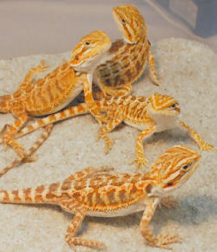 10 Interesting Bearded Dragons Facts | My Interesting Facts