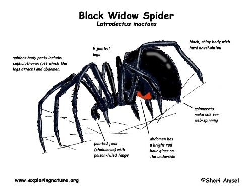 Black Widows facts