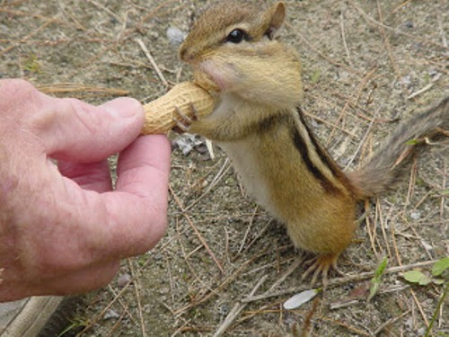 10 Interesting Chipmunks Facts My Interesting Facts