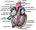 10 Interesting Circulatory System Facts