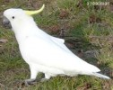 10 Interesting Cockatoo Facts