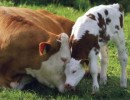 10 Interesting Cow Facts