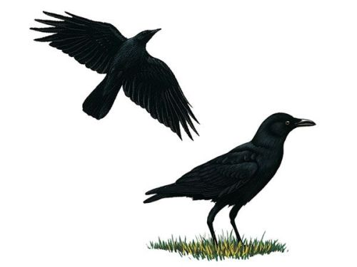 Crow facts
