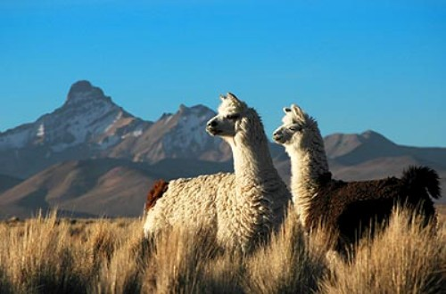 chile animals