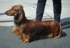 10 Interesting Dachshund Facts