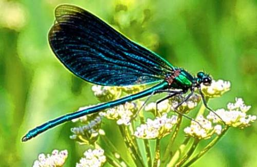 Dragonflies facts