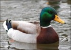 10 Interesting Duck Facts